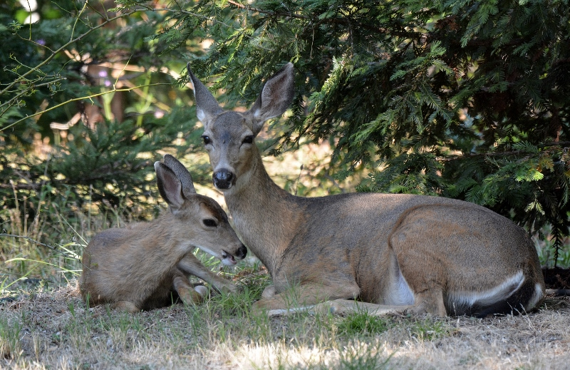 Doe and fawn resting and chewing their cuds in the shade of a redwood tree.