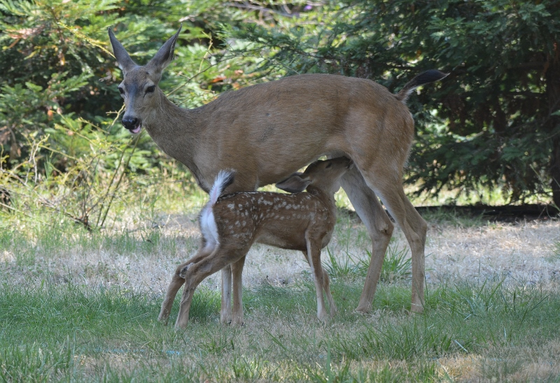 The fawn nursed frequently during his spotted stage.