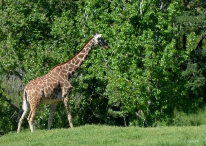 Few land mammals are as awe-inspiring as an adult reticulated giraffe. They are classified as a vulnerable species. Photo by Steven T. Callan.