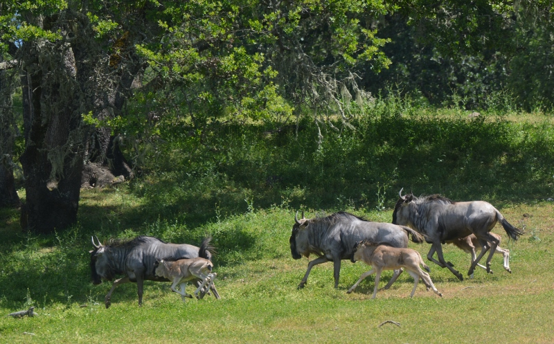 As I photographed this scene, I envisioned a herd of wildebeest stampeding toward the crocodile-infested Mara River. Photo by Steven T. Callan.