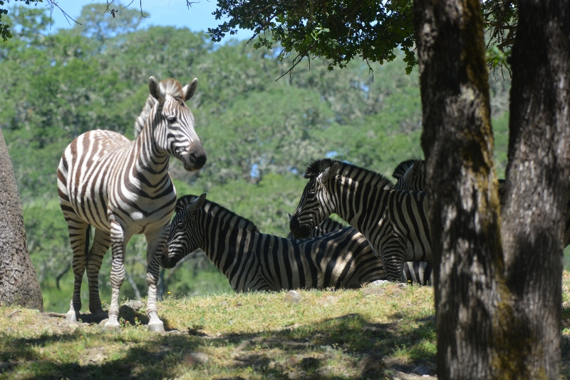 No African safari would be complete without a herd of zebras. Photo by Steven T. Callan.