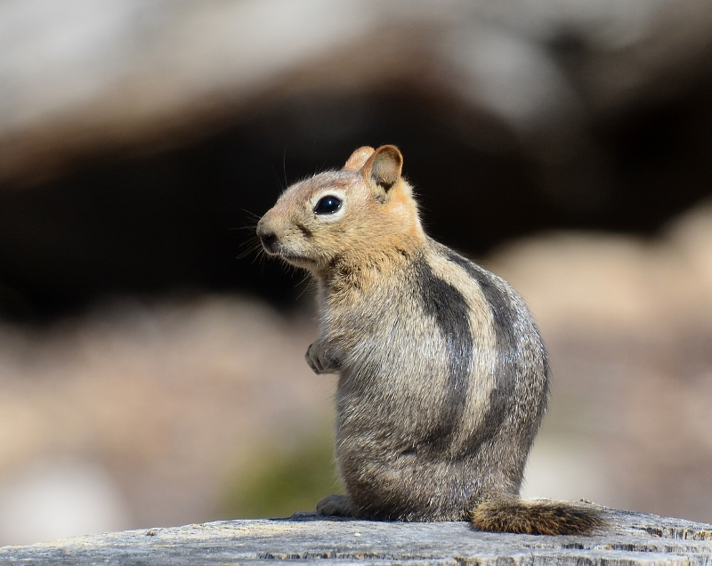Other than humans, this golden-mantled ground squirrel was the only mammal we saw at 10,000 feet. Photo by Steven T Callan.
