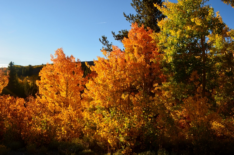 A close-up view of quaking aspens from Virginia Lakes Road. Photo by Steven T. Callan.