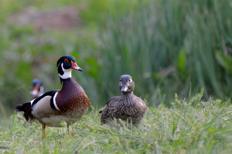 Wood-duck pairs, like this one, will search for a tree cavity in which the hen can make her nest. Photo by Steven T. Callan.