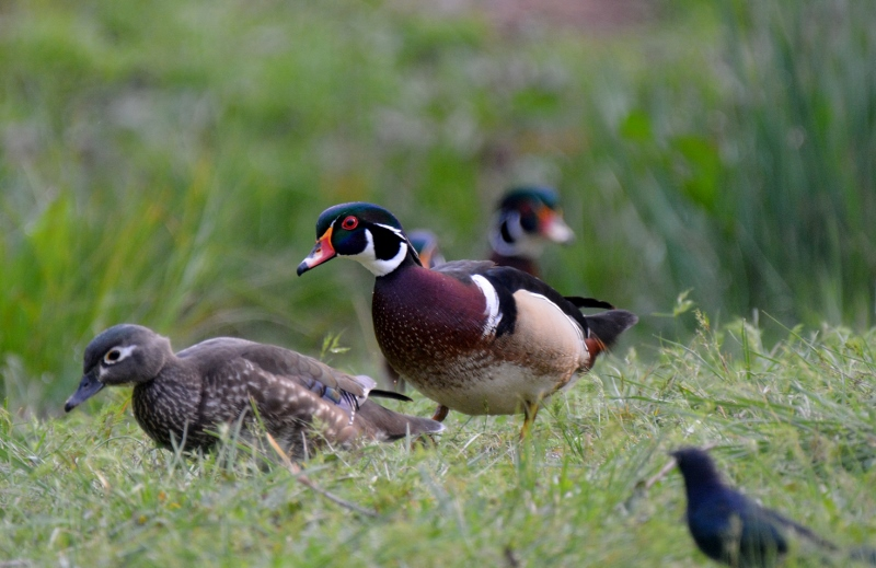 Wood ducks will leave the safety of the water and the trees to march overland in search of acorns, seeds, nuts, berries, and insects. Photo by Steven T. Callan.