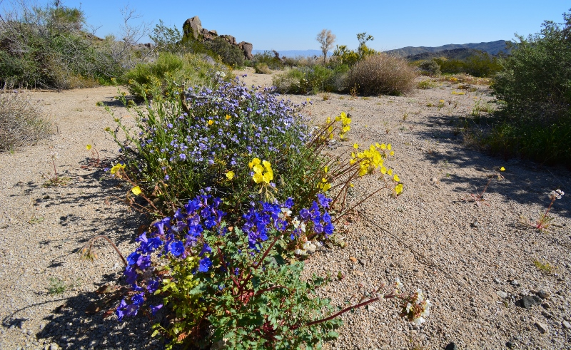 Bluebells and lavender Phacelia bloom among a sea of yellow wildflowers in Joshua Tree National Park. Photo by Author Steven T. Callan.