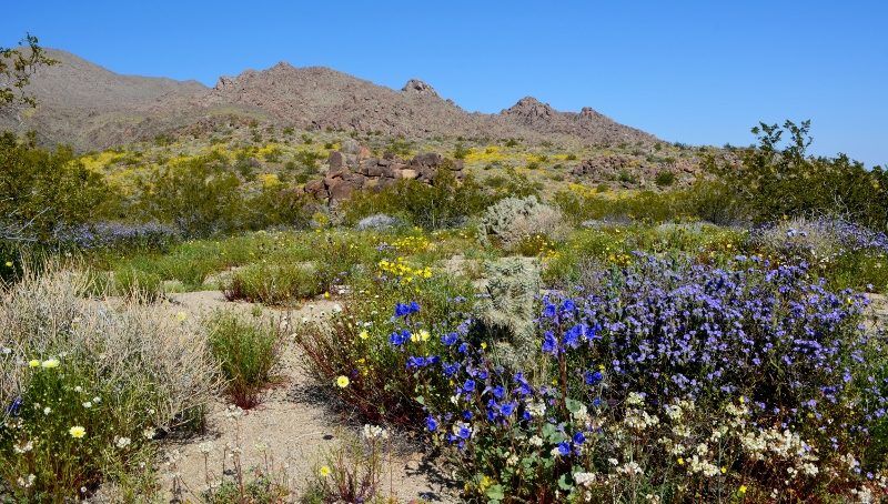 Blue and lavender wildflowers dominate the foreground, and yellow wildflowers decorate the hillsides in this scene from Joshua Tree National Park. Photo by Author Steven T. Callan.