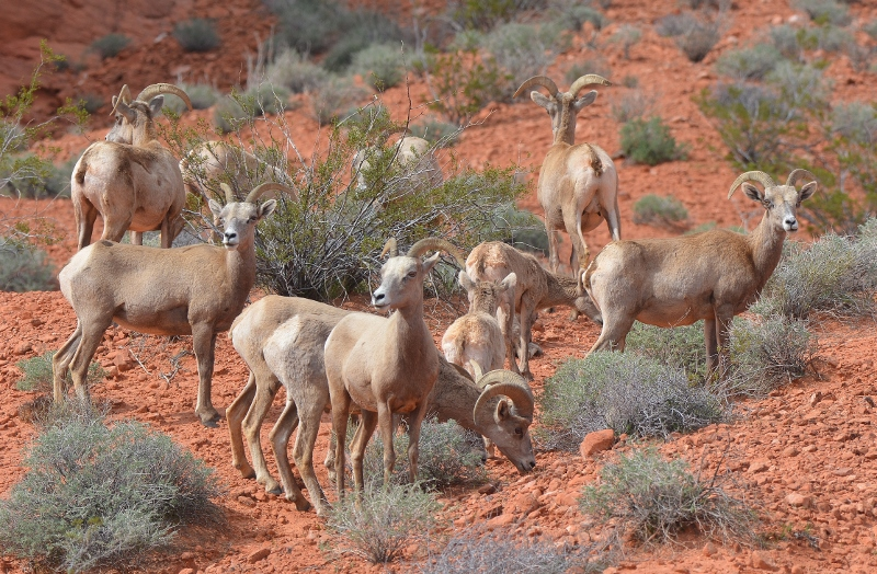 A herd of bighorn sheep in Valley of Fire State Park. Photo by Author Steven T. Callan.