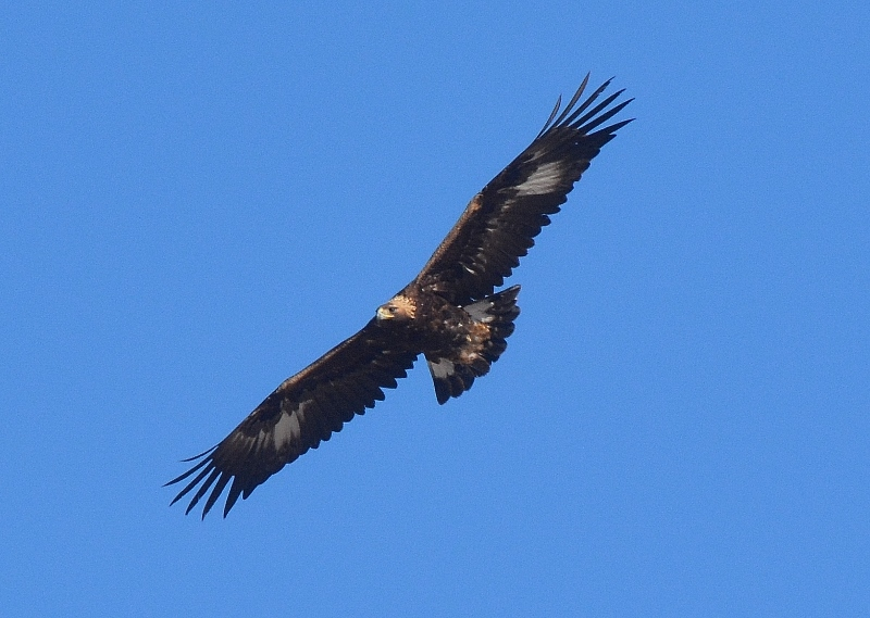 A golden eagle soars over Nevada's wide-open spaces. Photo by Author Steven T. Callan.