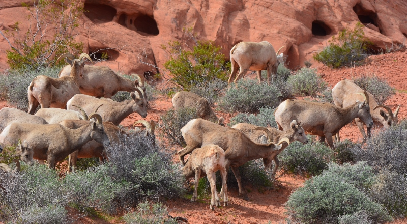 Bighorn sheep forage in Nevada's Valley of Fire State Park. Photo by Author Steven T. Callan.