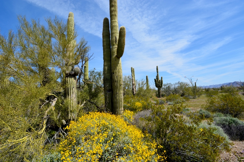 Saguaro cacti and blooming wildflowers decorate the Kofa National Wildlife Refuge. Photo by author Steven T. Callan.
