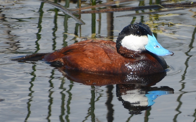 Butte Valley Wildlife Area plays host to drake ruddy ducks in their striking breeding attire.