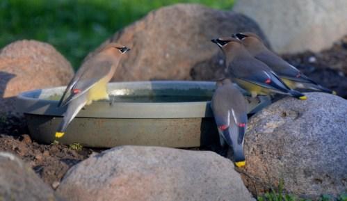 Cedar waxwings take advantage of a water source in the backyard of author Steven T. Callan.