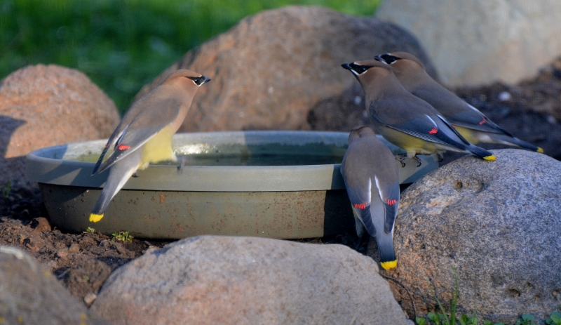 Cedar waxwings take advantage of a water source in the backyard of author Steven T. Callan.