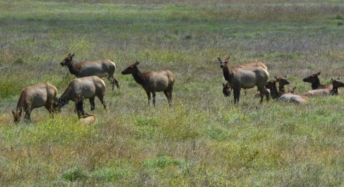 During our recent trip to the Central Coast, we counted seventy members of the San Simeon elk herd. Photo by author Steven T. Callan.