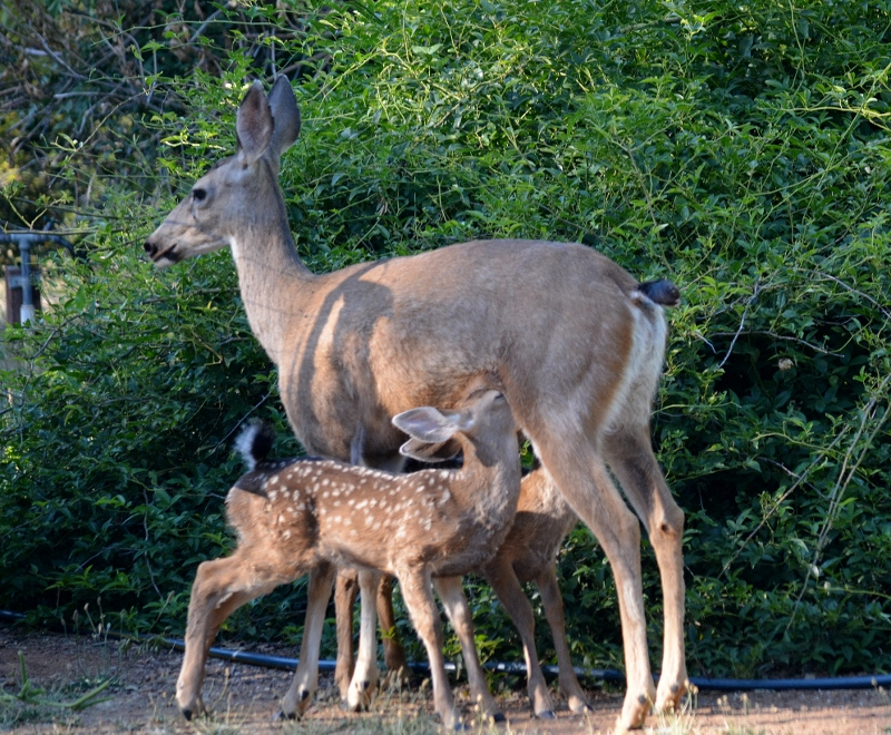 A doe nurses her twin fawns in the backyard of author Steven T. Callan.