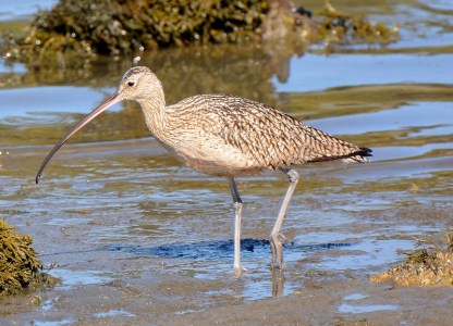 This long-billed curlew looks much like a marbled godwit, except for its slightly larger size and downward-pointing bill. Photo by author Steven T. Callan.