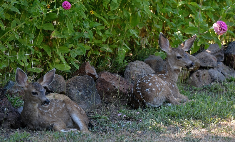 Twin fawns rest in the shade of the zinnias in the garden of author Steven T. Callan.
