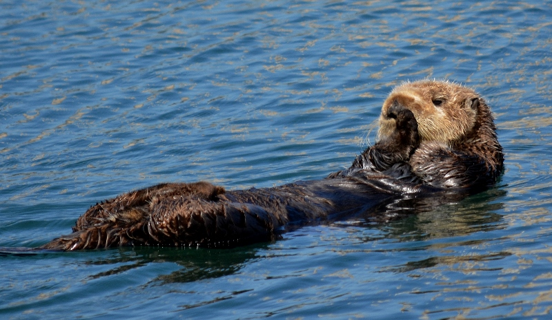 A sea otter basks in the sun near Morro Rock. Photo by author Steven T. Callan.