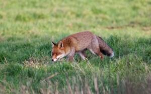 darenth fox 2 b 030