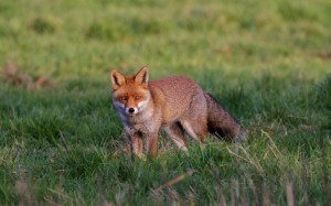 darenth fox2