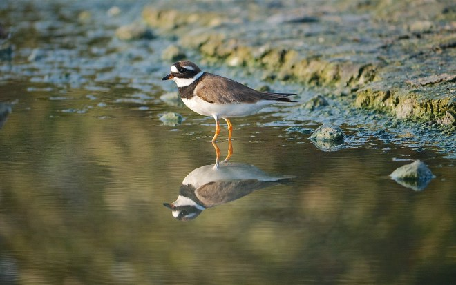 Ringed plover2 701