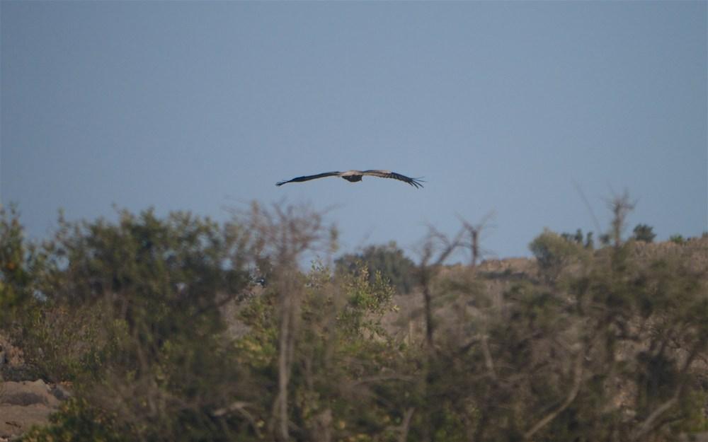 sayq E vulture 975