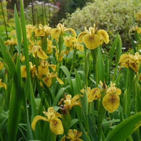 Iris pseudacorus hybrid 'Berlin Tiger'