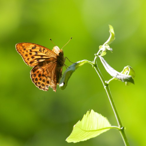 Silver-washed fritillary catching the sun