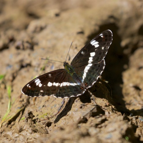 White admiral butterfly taking salts