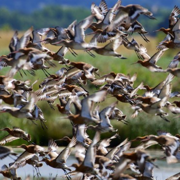 Black-tailed godwit flock 3