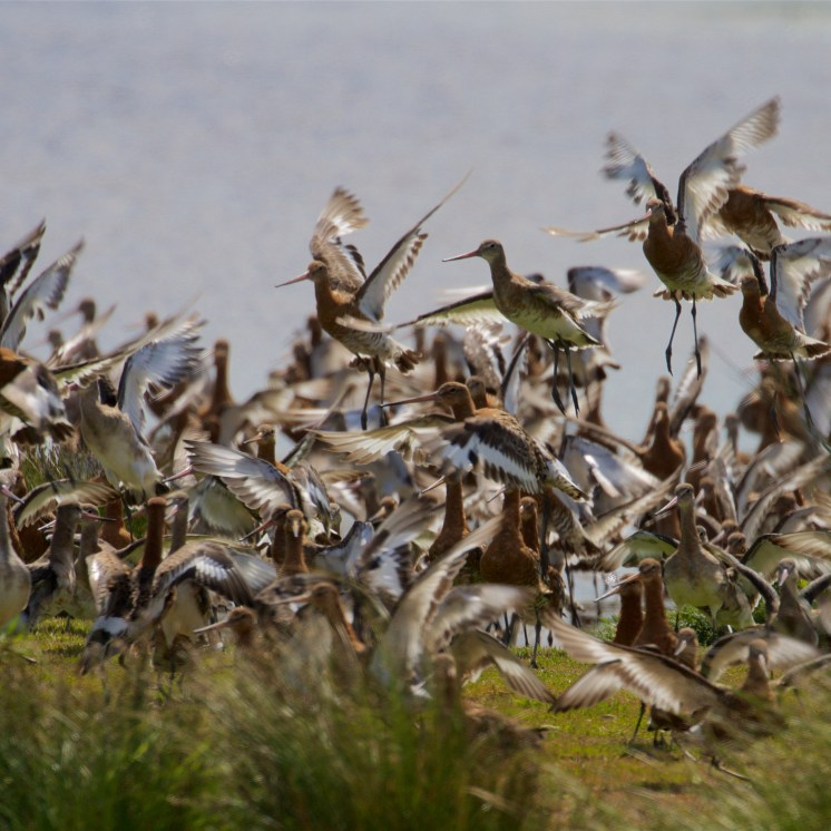 Black-tailed godwit flock 1