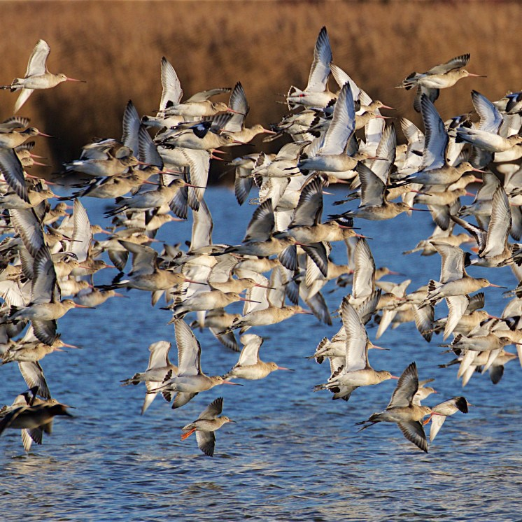 Black-tailed godwit flock changing position