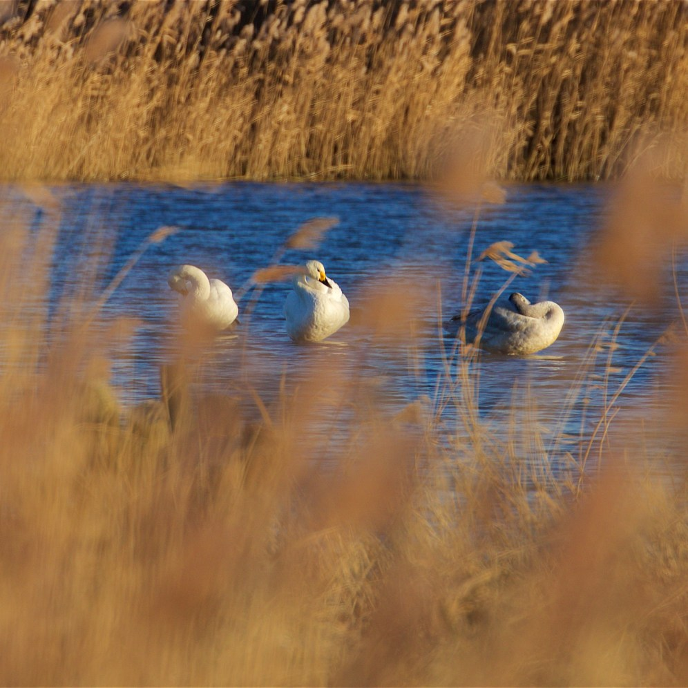 Bewick's swan family party on a mere in Stodmarsh National Nature Reserve