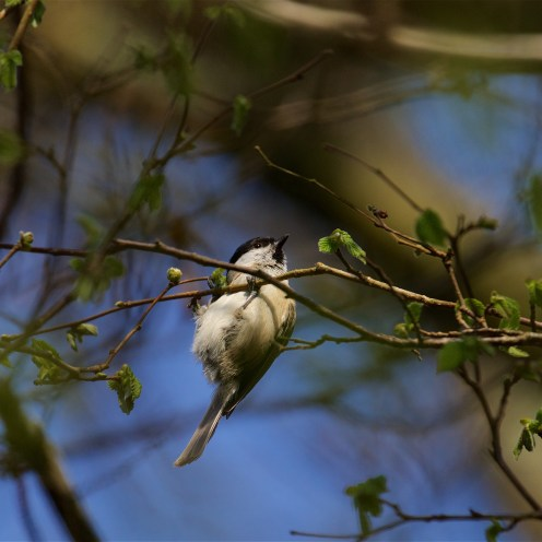 Marsh tit with its neat bib and glossy cap