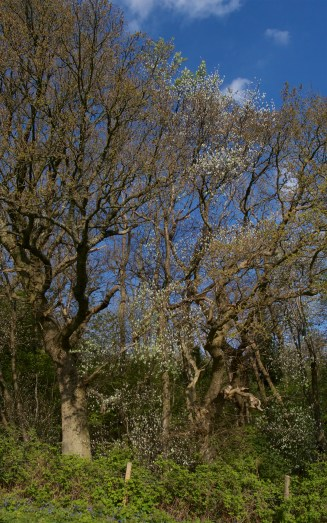 Whitebeam coming into leaf