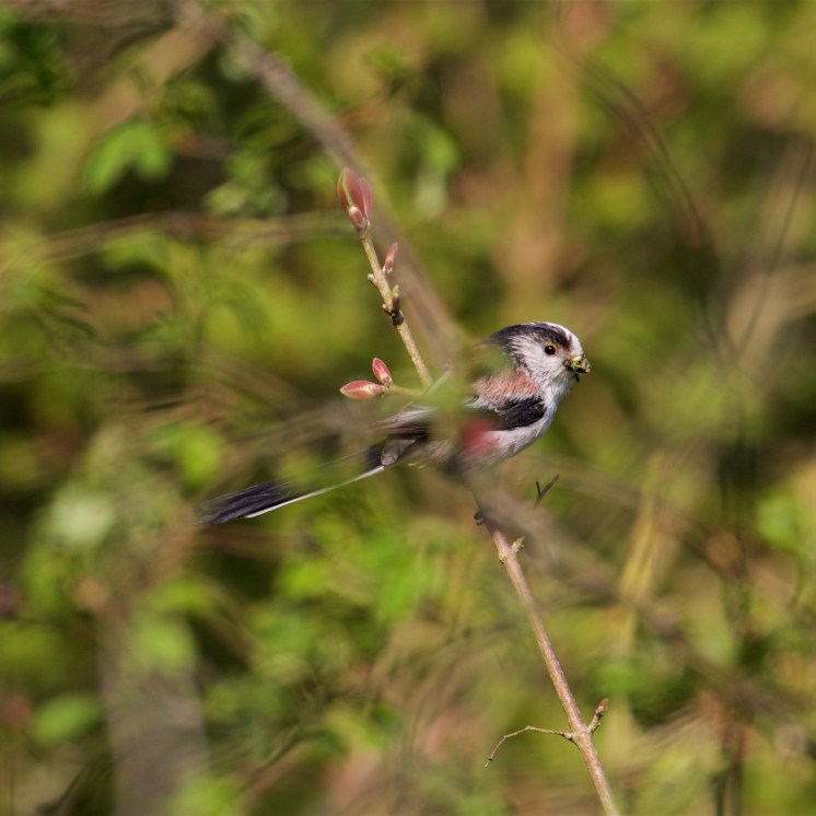 Feeding young with small invertebrates gleaned from the surrounding scrub and woodland