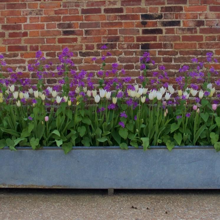 Honesty and cream tulips