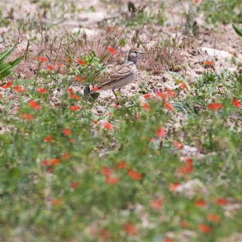 Short-toed lark and steppe flowers