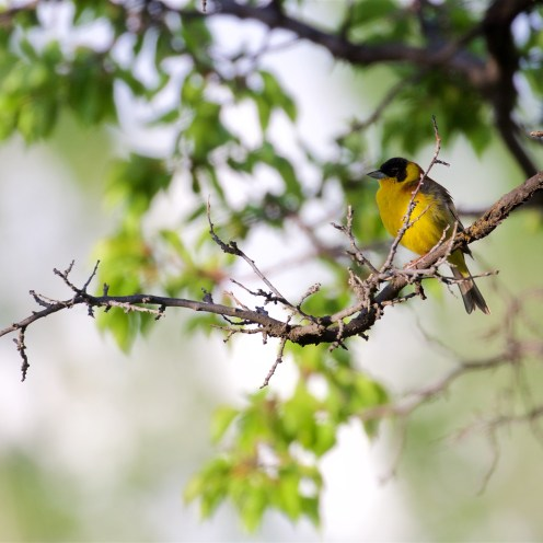 Male black-headed bunting
