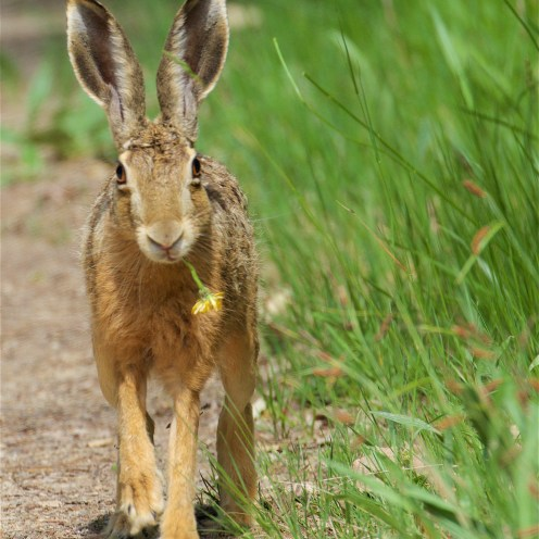 Brown hare 1