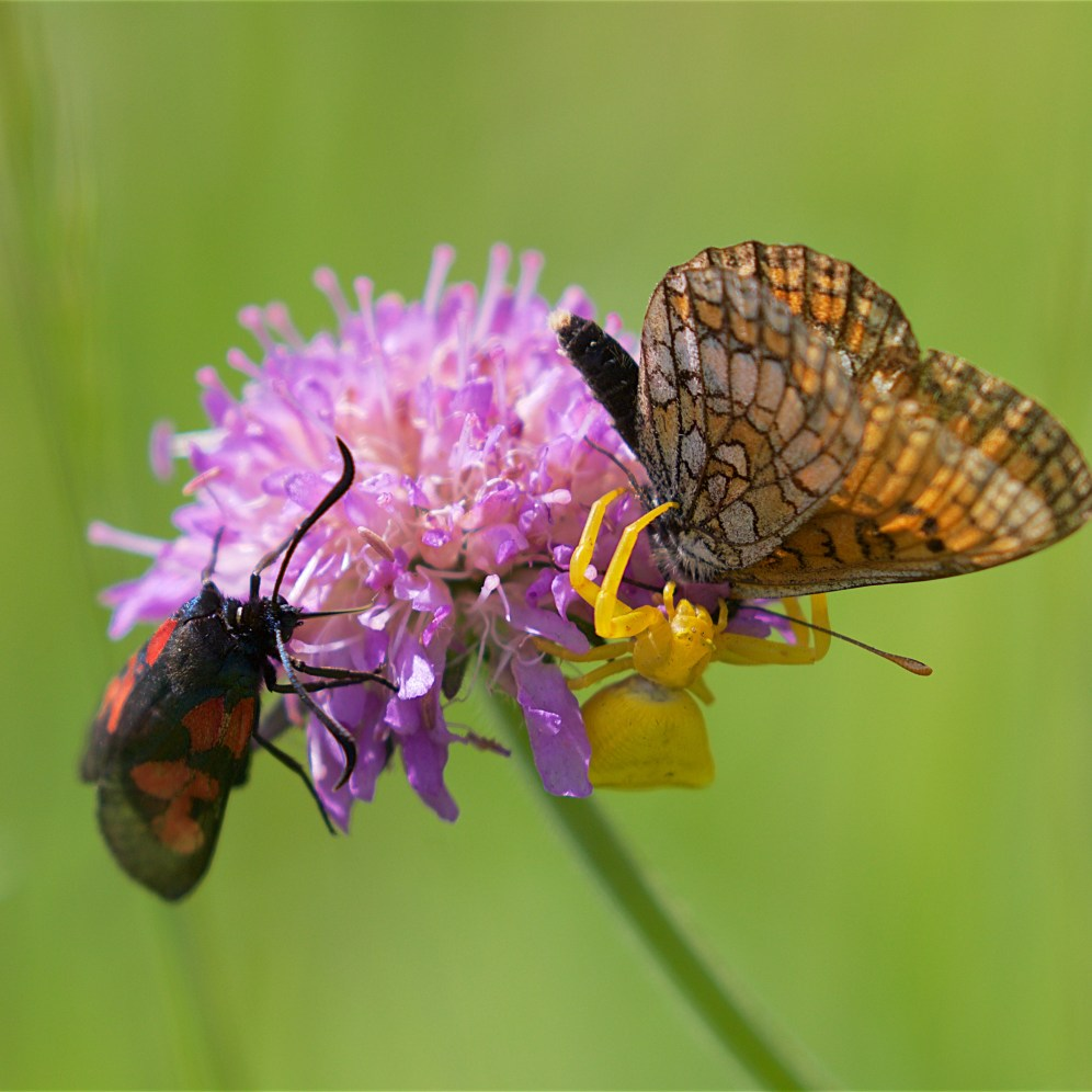 Crab spider sinking into a knapweed fritillary; surprisingly the fritillary flew off after the assault