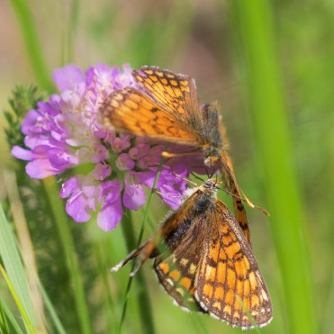 Pair of knapweed fritillaries