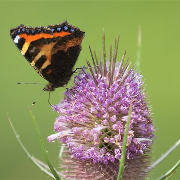 Small tortoiseshell on teasel