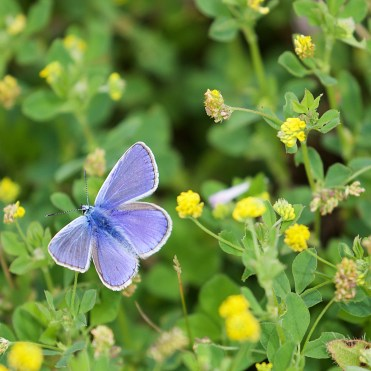 Common blue on hop trefoil