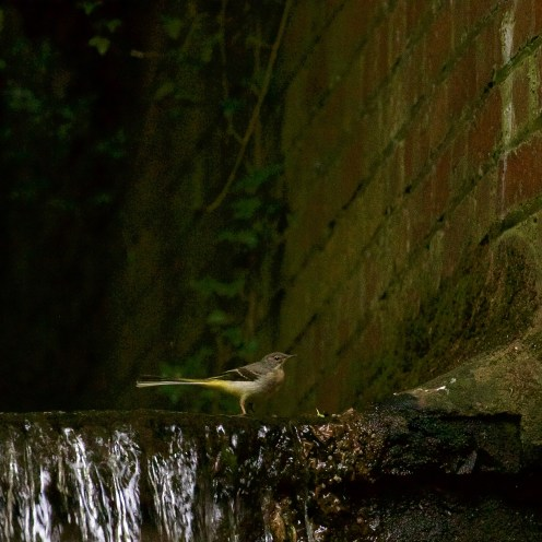 Tale of Two Wagtails - 5
