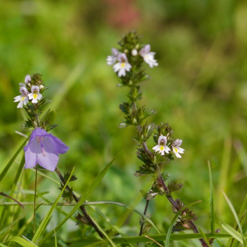 Harebell and eyebright
