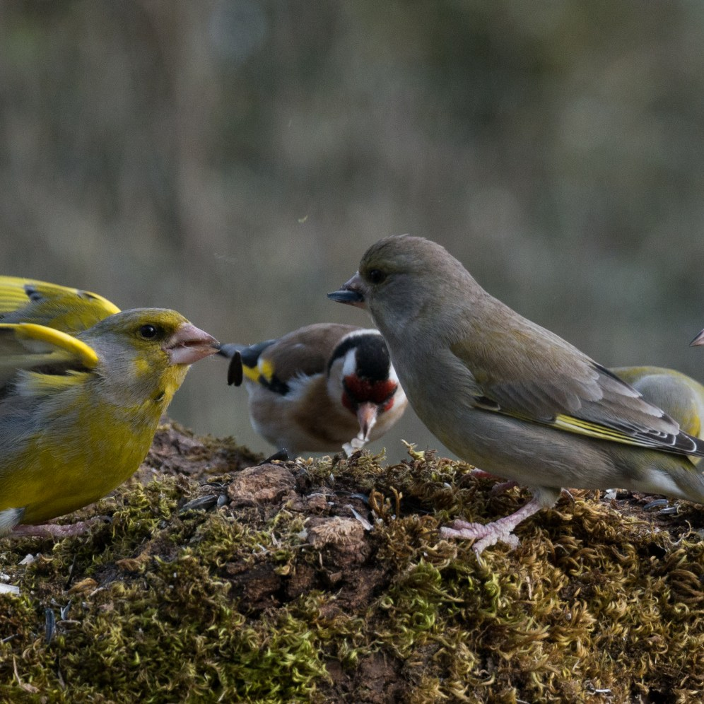 A 'discussion' of finches
