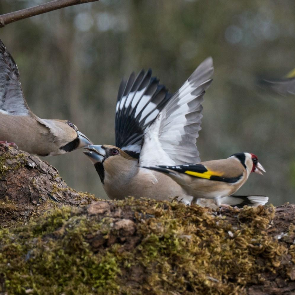 Hawfinch wars 1