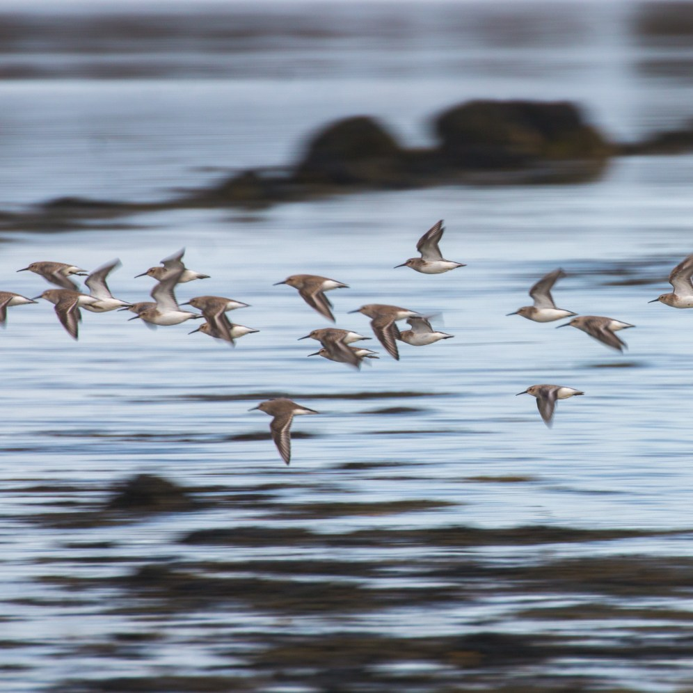 Dunlin flying up the estuary across the fllooded road to Northey Island